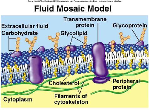 fluid mosaic model cell membrane feels