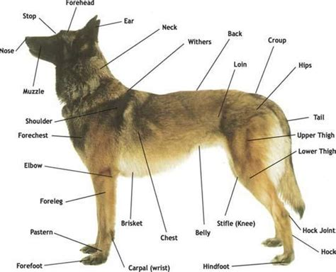 dogs anatomy 53 best images about and anatomy on anatomy mobile app and