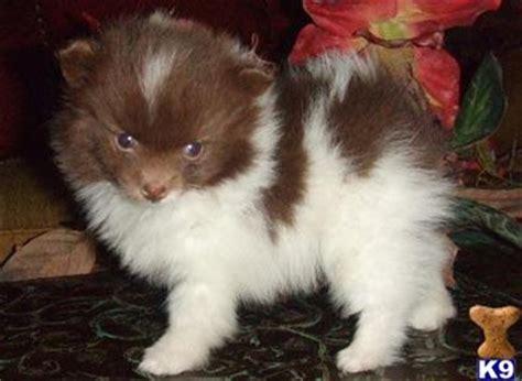 pomeranian puppies for sale in baton miniature pomeranian puppies for sale in louisiana