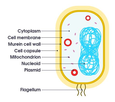 bacterial cell diagram labeled file simple diagram of bacterium en svg simple