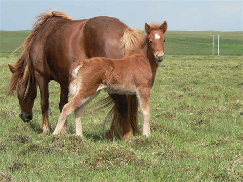breeding horses mares stallion horse breeding mares in heat horse breeding