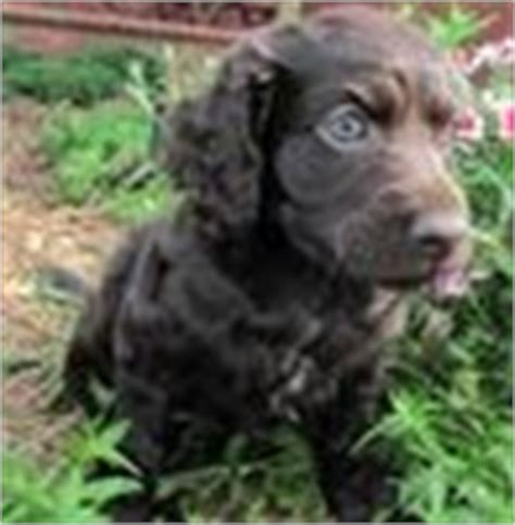 boykin spaniel puppies for sale in sc boykin spaniel puppies for sale boykin spaniel breeders