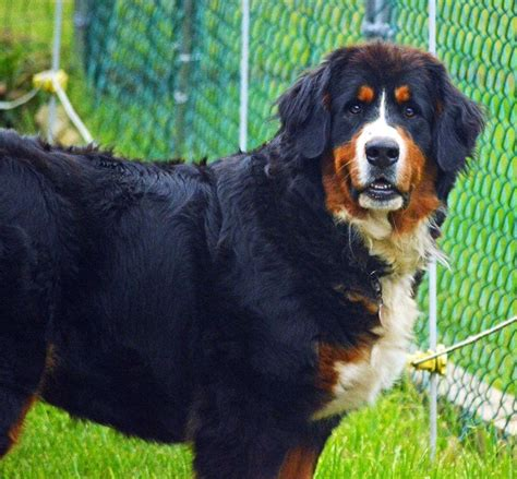 bernese mountain maine our bernese mountain dogs