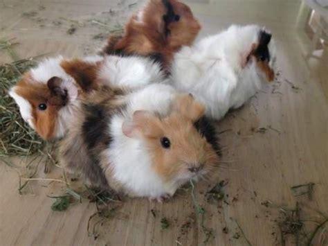 gabbie cavie peruviane gabbie cavie conigli animali luglio clasf