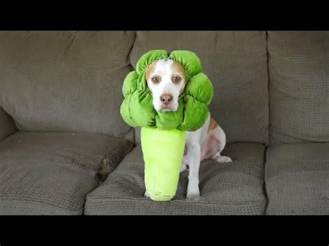 is broccoli bad for dogs baby goats hide seek maymo funnydog tv