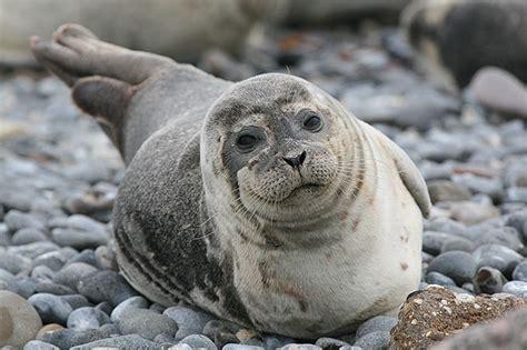 Der Seehund - NABU Schleswig-Holstein Seehund