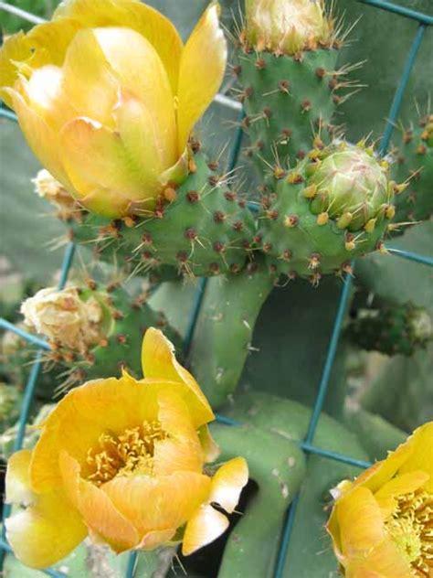 fiori fico fiore di fico d india fare di una mosca