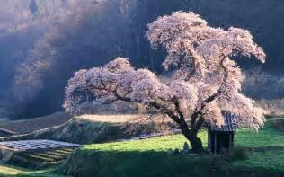 Japanese Blossom Tree cherry blossom tree in japan wallpaper 36274