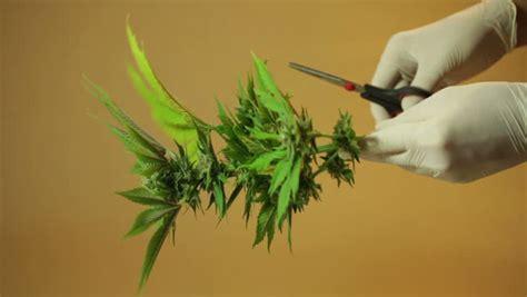 wann wird cannabis wie und wann cannabis pflanzen ernten irierebel