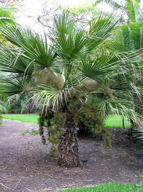 The Flower Garden Pasadena Ca Plantfiles Pictures Rock Palm Desert Palm Sombrero Palm Blue Rock Palm Brahea Dulcis By Growin