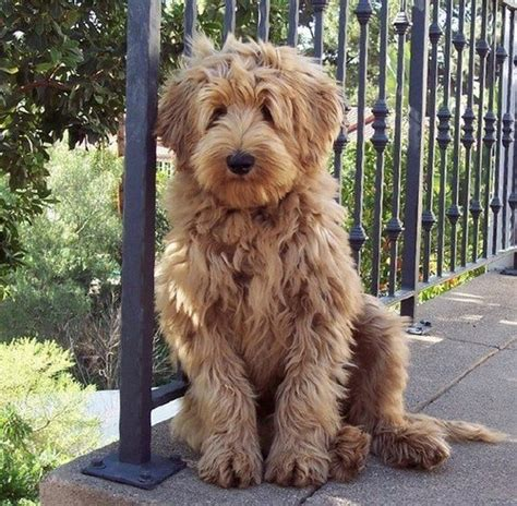 goldendoodle puppy thin coat 17 best images about goldendoodles on