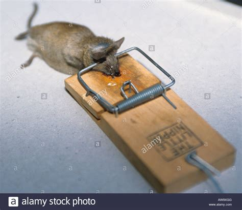 mouse benching mouse trap dead mouse caught in a mouse trap stock photo royalty