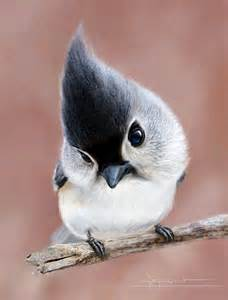tufted titmouse birds pinterest