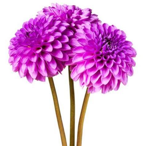 fiori dalie dalia