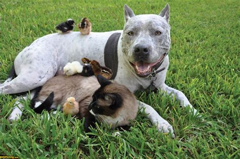 A Pit Funniest American Pitbull Terrier New Photos And