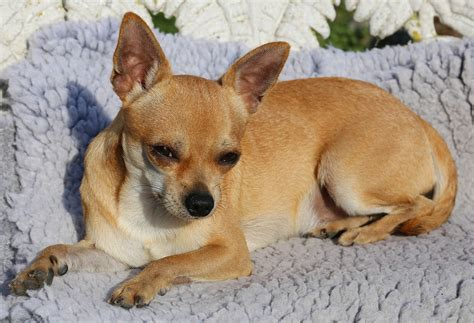wheezing in dogs wheezing causes treatments and chihuahuas risk dogs cats pets