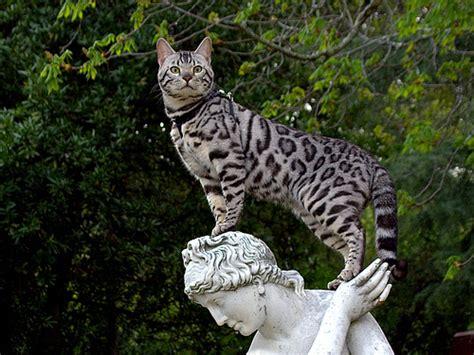 Bengal (cat)   The Life of Animals