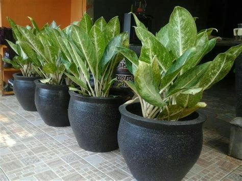 jual bibit tanaman aglonema blanceng batang putihtanaman