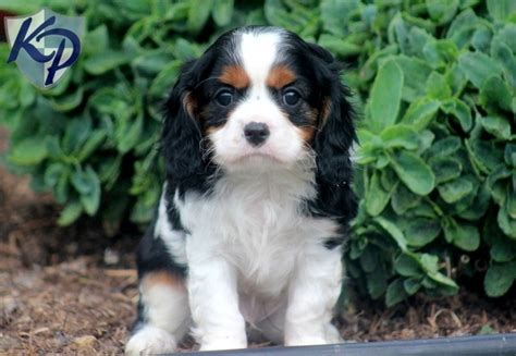 king charles cavalier puppies for sale in pa webster cavalier king charles spaniel puppies for sale in pa keystone puppies