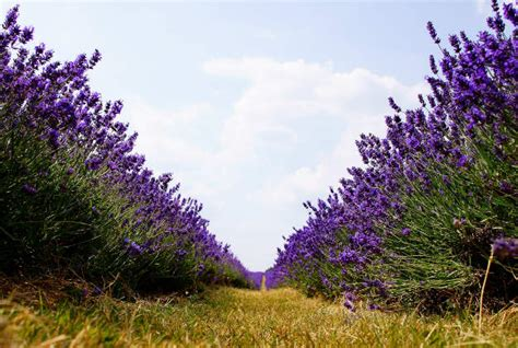 shelby michigan lavender maze lavender labyrinth is a delight for the senses in michigan