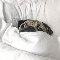pug won t go to bed stay in bed on beds bedroom and bedrooms