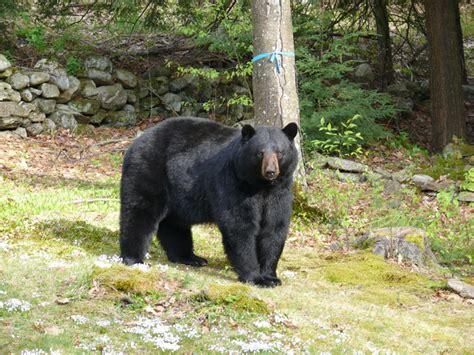 big black bear big black bear by graymall photo weather underground