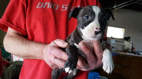pitbull puppies for sale in philadelphia american pit bull terrier puppies for sale philadelphia pa 272588