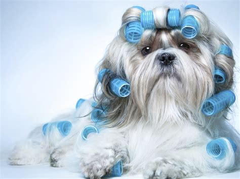 how does a shih tzu live how do shih tzu dogs live average lifespan