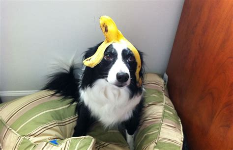 are bananas ok for dogs can dogs eat bananas and apples famlii