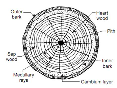 cross section of a tree trunk 2 layers of bark protect the cambium layer