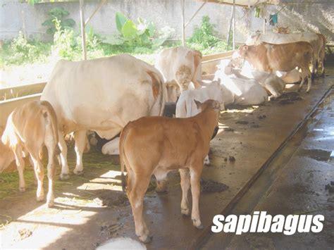 Bioboost Untuk Ternak Sapi liputan kegiatan pelatihan ternak sapi potong angkatan 1 sapibagus