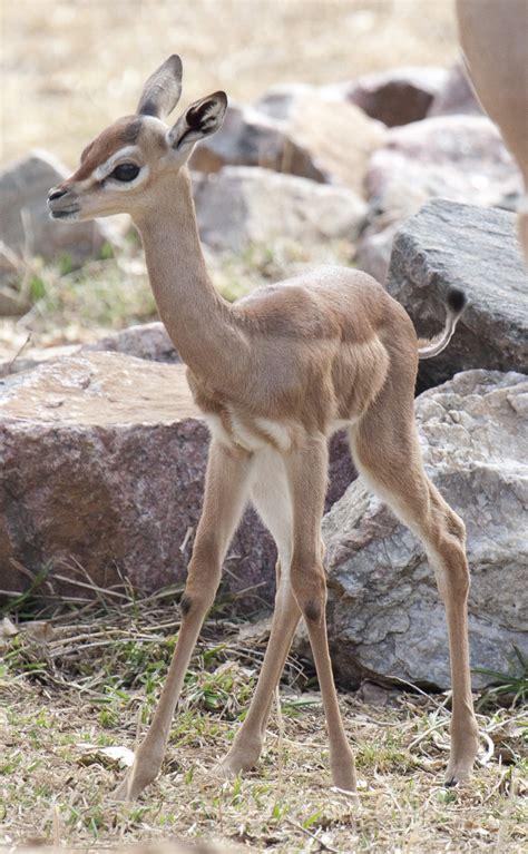 gangly gerenuk born  denver zoo cute baby animals