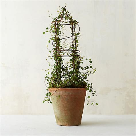 vine topiary vine spiral topiary in garden plants flowers at
