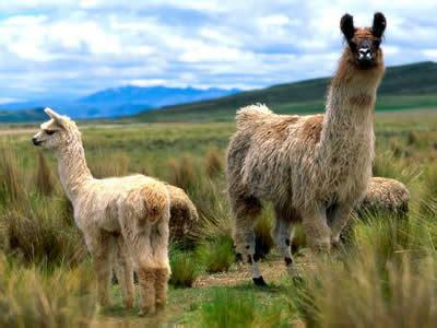imagenes animales de la sierra la region interandina o sierra blogecuadorregionesnaturales