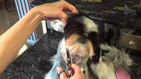 how to groom your shih tzu shih tzu pics grooming health tips more