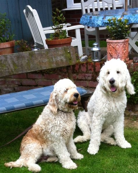 f2 goldendoodle puppies for sale goldendoodle f2 puppies for sale chelmsford essex pets4homes