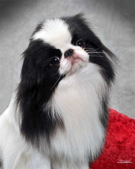 japanese chins japanese chin puppies japanese chin puppies by anime chin breeder of quality