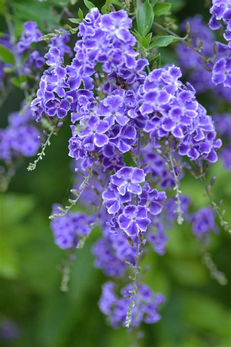 shrub with purple flowers purple duranta by mayebony on deviantart