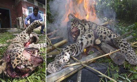 leopard  injured  villagers  india  beaten