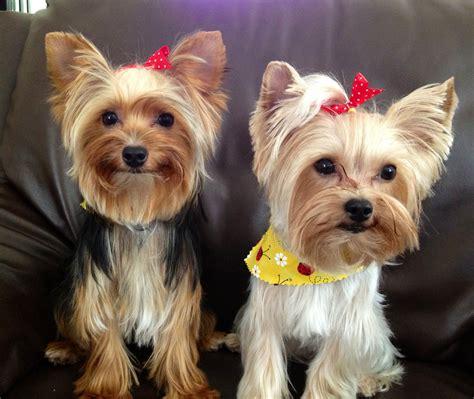 yorkie groomed yorkie puppies freshly groomed yorkies