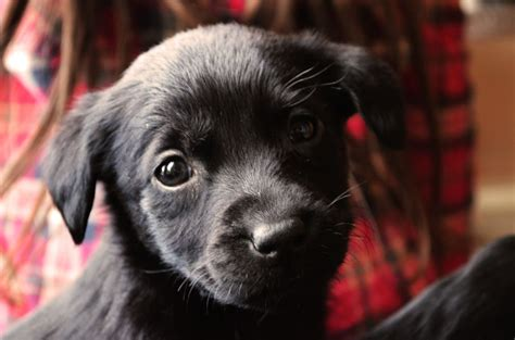 black puppies for sale black lab puppies for adoption breeds picture