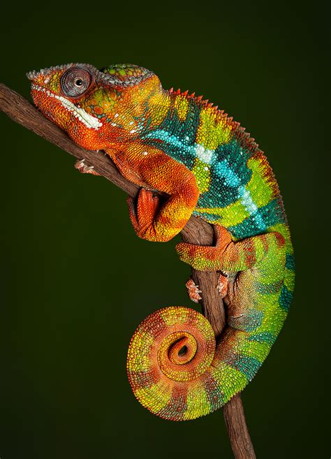 colorful chameleon mythical monday the colorful chameleon by mae clair