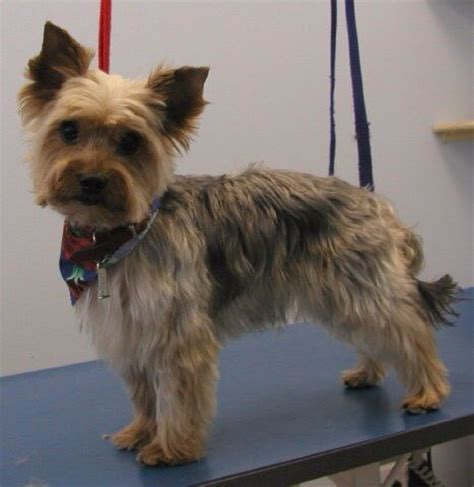 yorkshire terrier with curly hair and more stocky 23 best images about yorkie poodle haircuts on pinterest