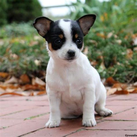 greenfield puppies for sale chihuahua puppies for sale chihuahua breed info greenfield puppies