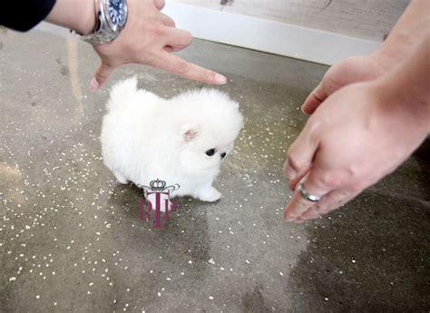 royal pomeranian puppies teacup pomeranian puppies micro white teacup pomeranian royal