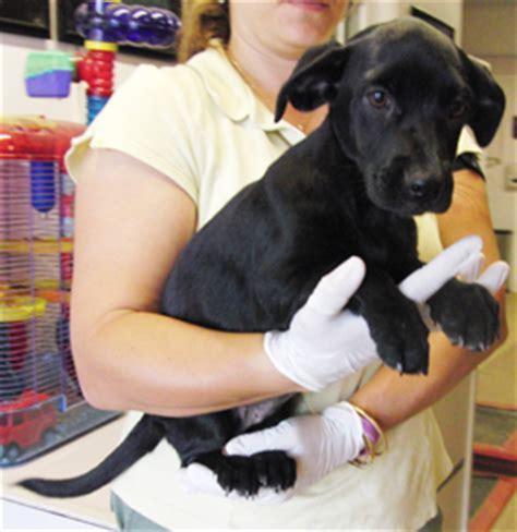 dachshund lab mix puppies dachshund lab mix puppies web page
