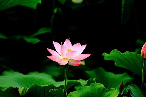 illustrations and meditations or flowers from a puritan s garden classic reprint books free photo lotus pond hd flower powder free image