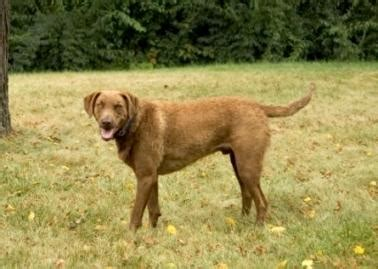 chesapeake bay golden retriever chesapeake bay retrievers lovetoknow