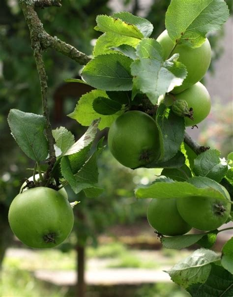 94 fruit that doesn t grow on trees 94 best fruit trees gardening tips images on