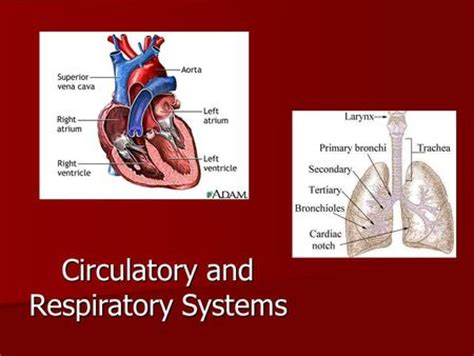section 37 1 the circulatory system circulatory and respiratory systems ppt video online
